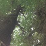 電気工作ドットコム・銀杏の大木